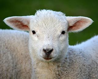 Aglaiaco blog l214 animaux mouton header